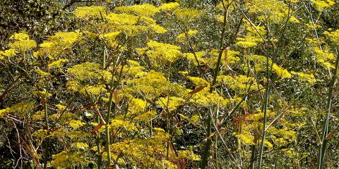 monterey yellow flowers 2006